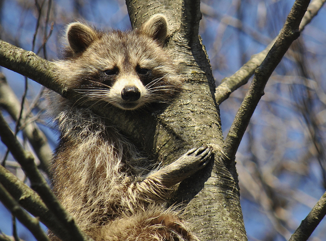 raccoon in a tree on the Lehman Electrical Resources Group